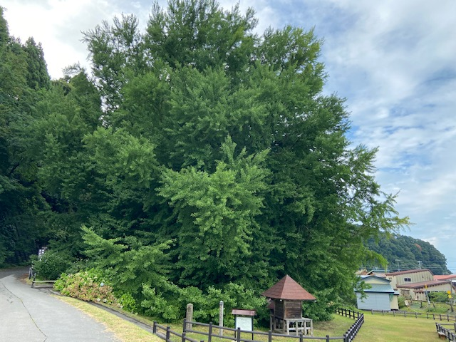 日本一のイチョウの木、誰が調べたのかね