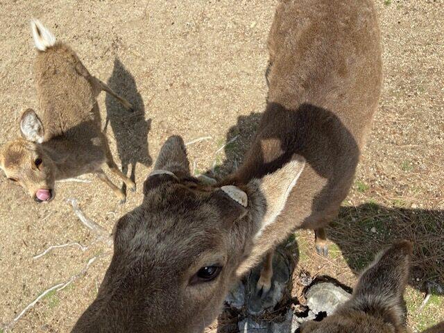 観光客が少なくて飢えているという鹿に煎餅をあげます
