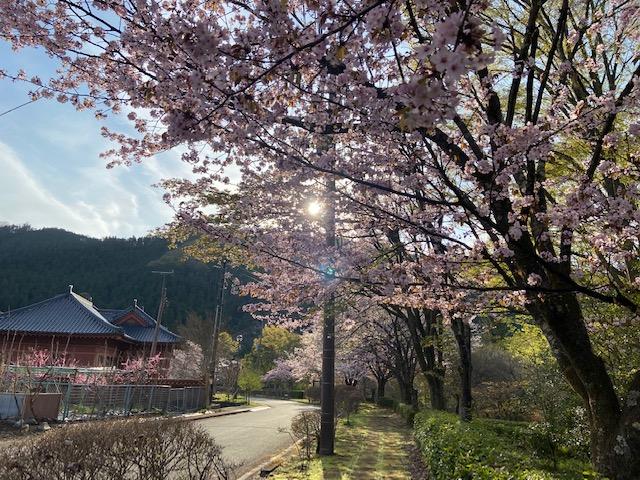 きれいな桜並木の先に立派な建物